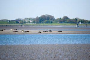 Seehunde im Watt vor Tossens